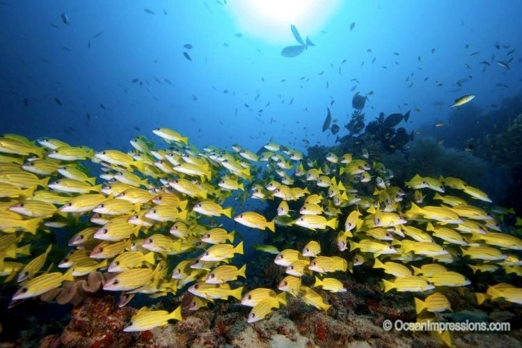 beautiful underwater yellow fishes lily beach resort & spa